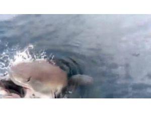 Balıkçı Tuttu, Köpekbalığı Çaldı