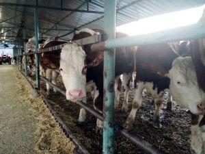 Yerli Sığır Fiyatları Yüzde 10,1 Arttı