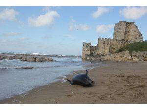Kıyıya Ölü Yunus Vurdu
