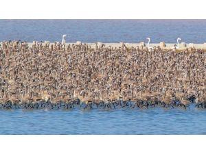 Pelikanlar İçin Ada Yapılacak