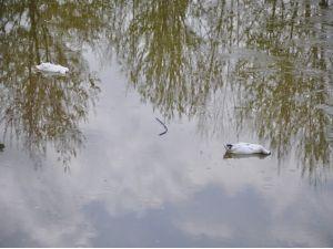 Kültürpark'ın Ördeklerini Köpekler Telef Etti