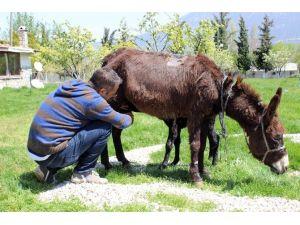 Hasta Annesine Eşek Sütü İçin Çiftlik Kurdu