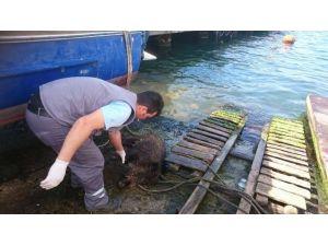 İstanbul Boğazında Bir Domuz Vakası Daha