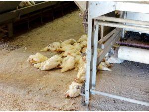 Kuş Gribi Şüphesiyle 161 Bin Tavuk İtlaf Edildi