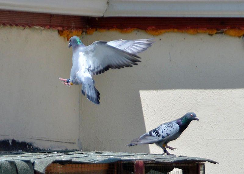 Güvercinler Konya'dan Eskişehir'e 7 saatte ulaştı