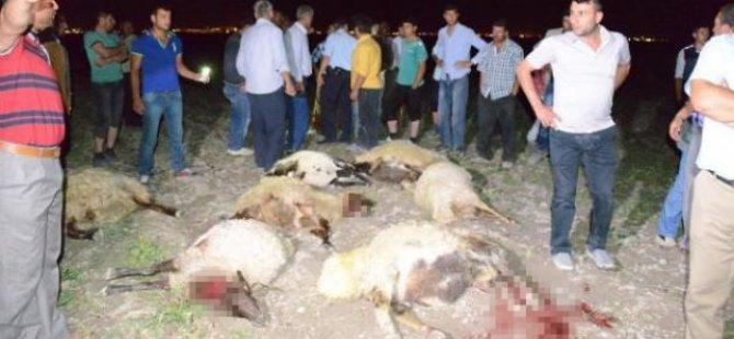 300 koyunu zehirli yemle telef ettiler