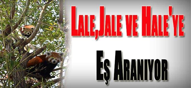 Lale,Jale ve Hale'ye Eş Aranıyor