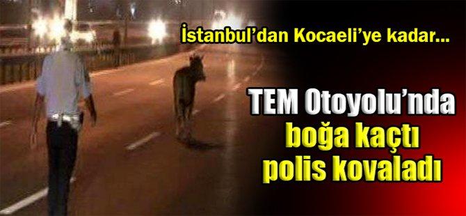 TEM Otoyolu'nda boğa kaçtı polis kovaladı!