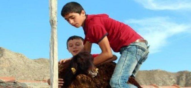 Kurbanlık koyun çatıya çıktı
