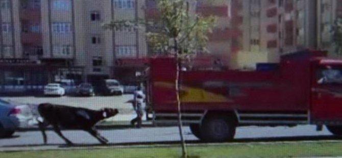 Boğayı, kamyonetin arkasına bağlayıp sürüklediler!