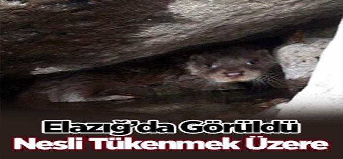 Nesli Tükenmek Üzere, Elazığ'da Görüldü