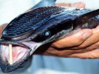 Bodrum'da vantuz balığı şaşkınlığı