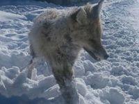 Bayburt'taki soğuk havada tilki ayakta donup kaldı!