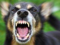 Dikkat! Havlayan köpek ısırmaz mı?