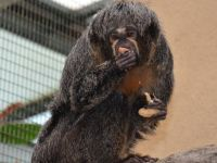 Saki cüce maymun Chico'ya eş geldi