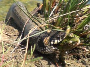 Yılan kurbağayı saniyeler içinde yuttu